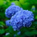 Photos: お寺の紫陽花