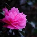 Photos: 雨上がりの山茶花