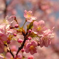 Photos: 植物園の河津桜
