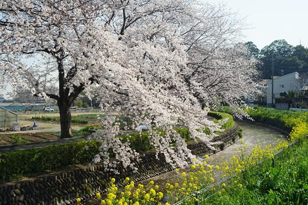 用水縁の桜