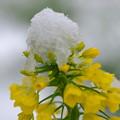 雪と菜の花