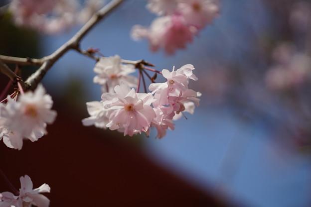 Photos: 今年最後の桜