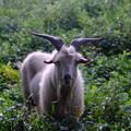 Photos: 山羊