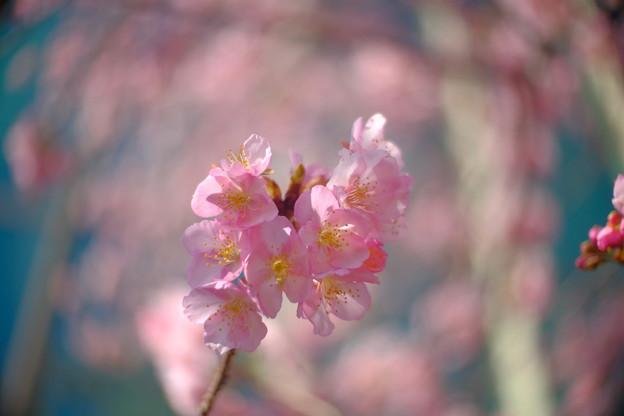 区役所裏の河津桜