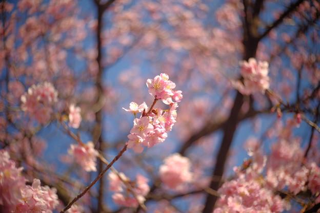 区役所裏の河津桜2