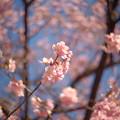 Photos: 区役所裏の河津桜2