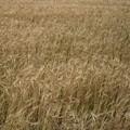 写真: ゆれる麦畑