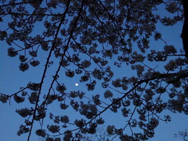 月夜の桜2