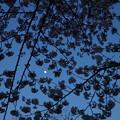 Photos: 月夜の桜2