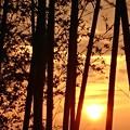 Photos: 竹林の夕焼け
