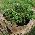 Photos: 年月を刻んだ植木鉢