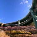 道と河津桜