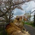 写真: 桜並木の猫のプリンちゃん♪