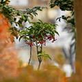 Photos: 180115_13_マンリョウ・S18200(西方寺)