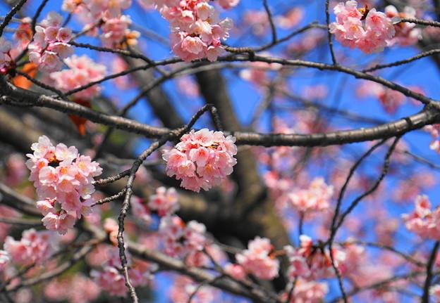 180314_01_中日桜・S18200・α60(西方寺) (23)