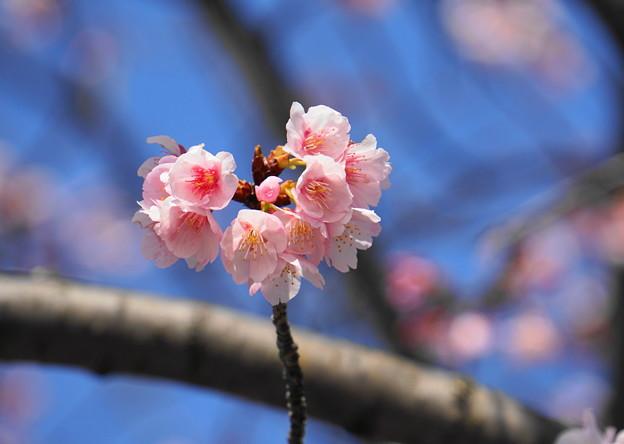 180314_01_中日桜・S18200・α60(西方寺) (28)