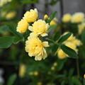写真: 180410_51_モッコウバラ・Sm・α60(我が家の花壇) (1)