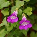 180912_21_アサリナ・紫・S18200・α60(我家の花壇) (1)
