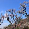 Photos: 200221_11B_梅林の様子・RX10M3(大倉山) (336)