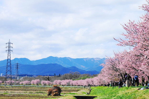 200315_27A_安行桜の様子・ RX10M3(坂戸) (6)