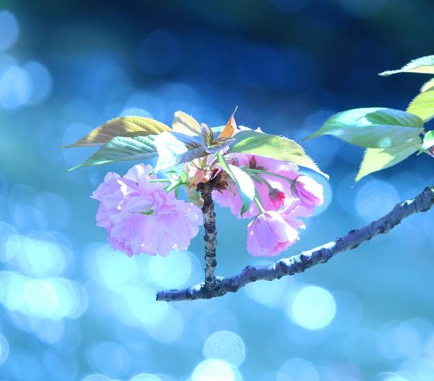 200414_06K_水面のキラキラと八重桜・RX10M3(二ケ領用水) (13)