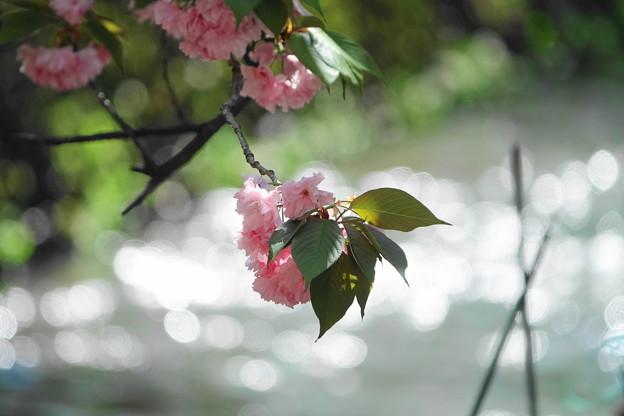 200419_01K_八重桜とキラキラ・RX10M3(二ケ領用水) (11)