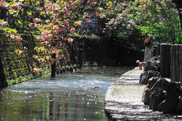200419_04F_八重桜と桜吹雪・RX10M3(二ケ領用水) (35)