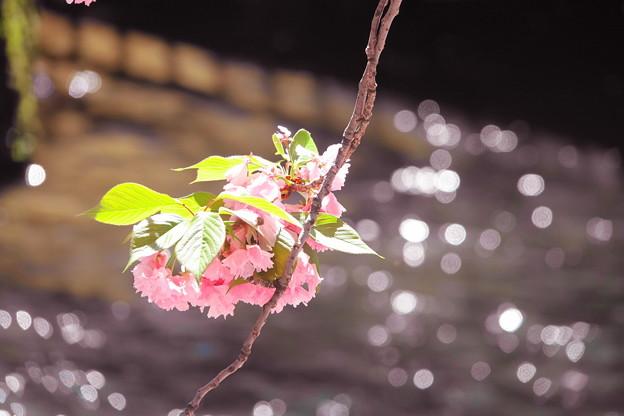 200419_05M_水面のキラキラと八重桜・RX10M3(二ケ領用水) (2)