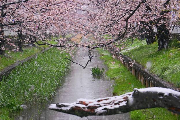 200329_01Y_雪の住吉桜・S18200(渋川) (262)