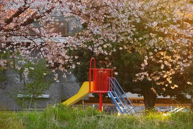 200406_52K_桜と遊具・RX10M3(矢上川) (1)