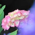 Photos: 200603_19A_紫陽花・RX10M3(多摩川台) (151)