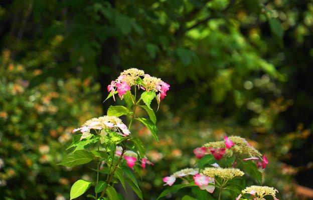 Photos: 200609_11A_紫陽花を愛でる・S18200(多摩川台) (2)
