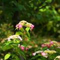 200609_11A_紫陽花を愛でる・S18200(多摩川台) (2)