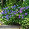 Photos: 200609_11A_紫陽花を愛でる・S18200(多摩川台) (6)