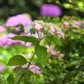 Photos: 200609_11A_紫陽花を愛でる・S18200(多摩川台) (9)