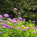 Photos: 200609_11A_紫陽花を愛でる・S18200(多摩川台) (12)
