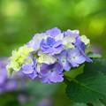 200609_11A_紫陽花を愛でる・S18200(多摩川台) (23)