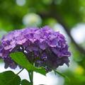 Photos: 200609_11A_紫陽花を愛でる・S18200(多摩川台) (25)
