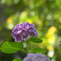 Photos: 200609_11A_紫陽花を愛でる・S18200(多摩川台) (27)