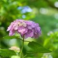 Photos: 200609_11A_紫陽花を愛でる・S18200(多摩川台) (30)