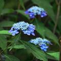 Photos: 200609_11A_紫陽花を愛でる・S18200(多摩川台) (37)