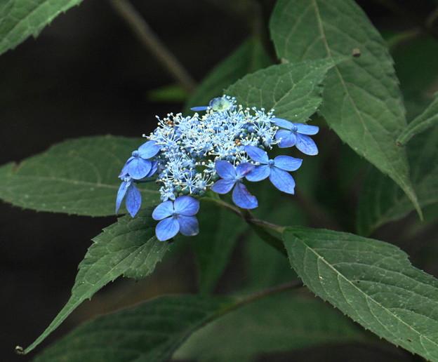 Photos: 200609_11A_紫陽花を愛でる・S18200(多摩川台) (39)