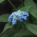 200609_11A_紫陽花を愛でる・S18200(多摩川台) (39)