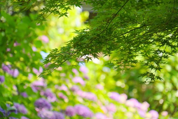 200609_11A_紫陽花を愛でる・S18200(多摩川台) (46)