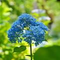 Photos: 200609_11A_紫陽花を愛でる・S18200(多摩川台) (58)