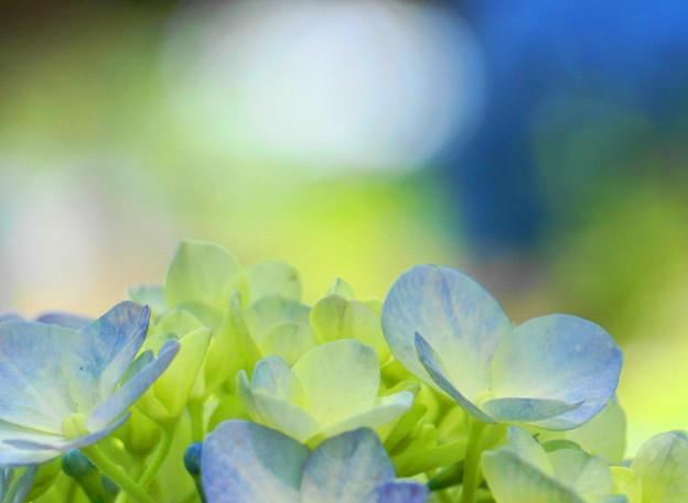 Photos: 200609_11A_紫陽花を愛でる・S18200(多摩川台) (60)