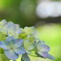 Photos: 200609_11A_紫陽花を愛でる・S18200(多摩川台) (62-1)