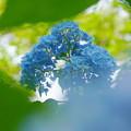 Photos: 200609_11A_紫陽花を愛でる・S18200(多摩川台) (65)