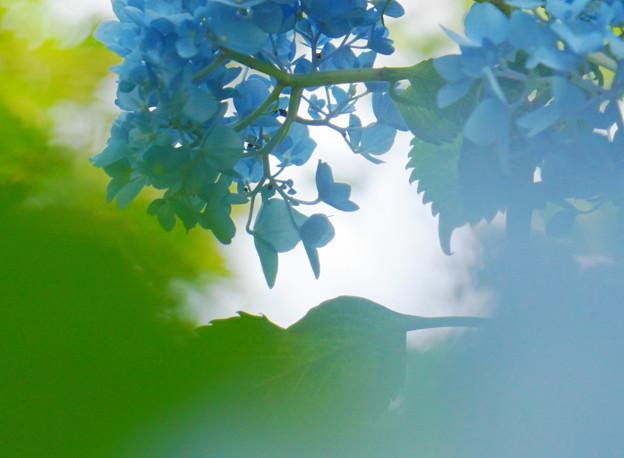 Photos: 200609_11A_紫陽花を愛でる・S18200(多摩川台) (65-1)