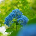 Photos: 200609_11A_紫陽花を愛でる・S18200(多摩川台) (67)